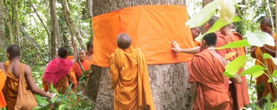 Buddhist monks ordaining trees in Thailand to awaken moral conscience of loggers